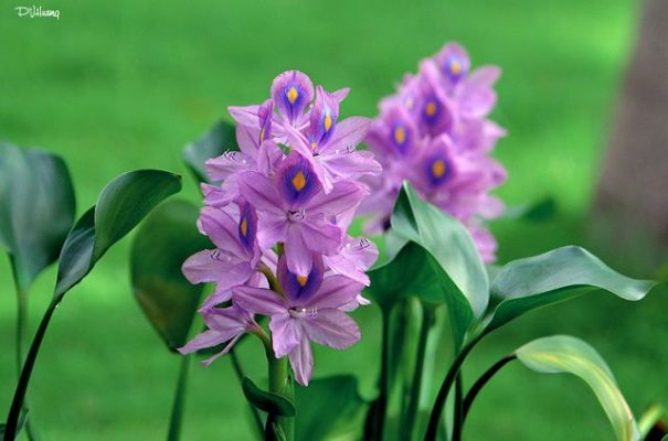 Kết quả hình ảnh cho hoa lục bình
