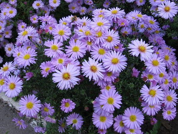 hoa dep thạch thảo