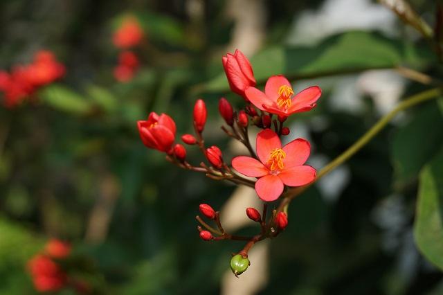 hoa hải đường đỏ