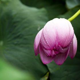 hoa sen hồng đẹp nhất thế giới
